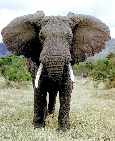 African-bush-elephant